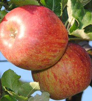 Pomme Jonagold