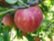 Pomme esltar jardins verger cueillette d