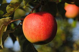 Pomme Pinova Les jardins de la Frolle