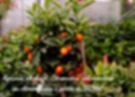 agrumes pépiniere citronniers jardins de