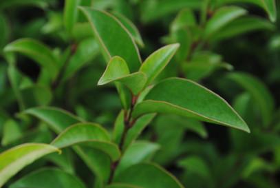 Troene du Japon Arbuste persistant pépin