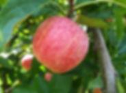 Pomme Gala Jardins verger cueillette de