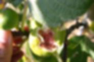 Figue cueillette les jardinsdelafrolle
