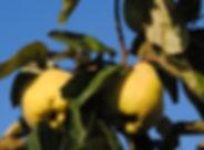 Coings cueillette les jardinsdelafrolle