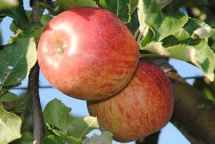 Pomme Jonagored Les Jardins de la frolle