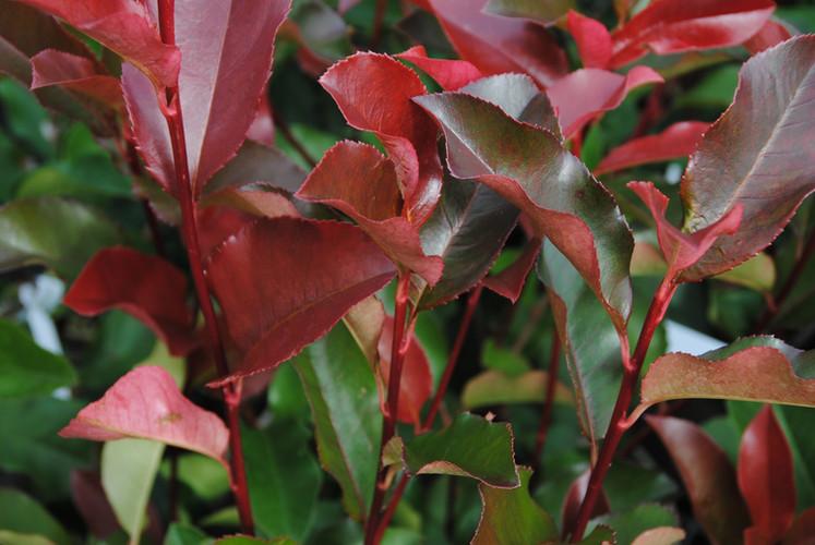 Photinia Red Robin Arbuste persistant Pe
