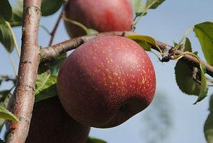 Pomme Melrose Les Jardins de la Frolle