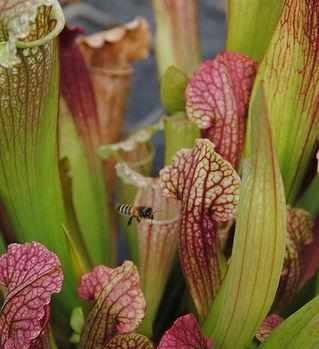 sarracénia mitchelliana carnivore