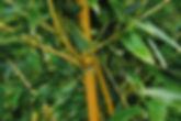 Bambous dore Phyllostachys Les jardins d