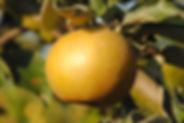 Pomme Reinette du Canada Grise Jardins d