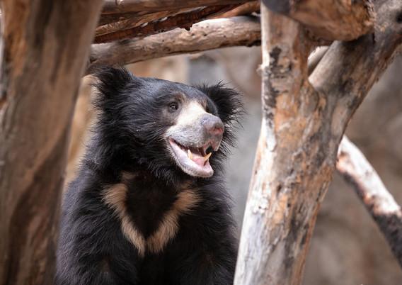Bear 1000x1000px