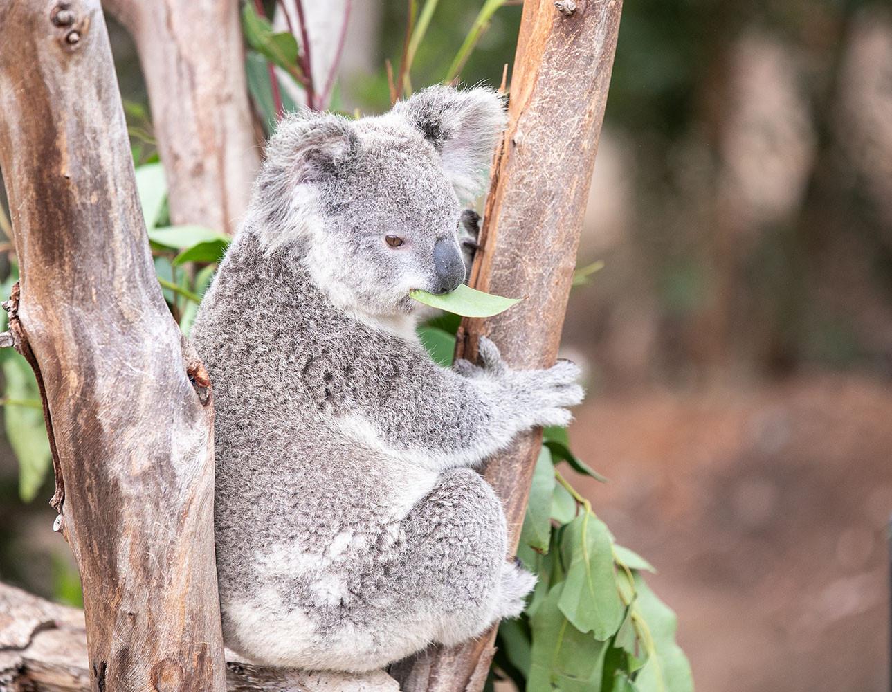 Koala 1000x1000px