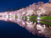 Yozakura: Ciliegi in fiore illuminati di notte