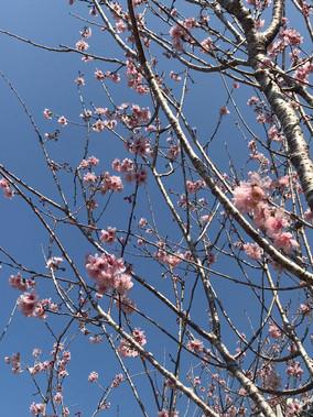 SaKuRa 櫻花 桜(さくら)