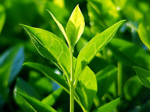 Tea tree leaf