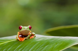 123rf_CostaRica_Frog_PeterWollinga_5779125_l-640x427