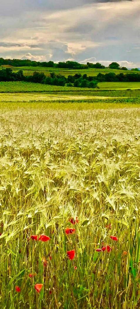 24 | Wheat field