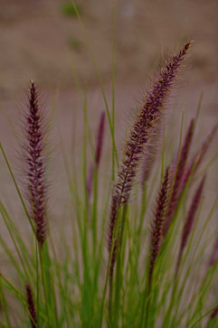 31 | Malibu-Grass