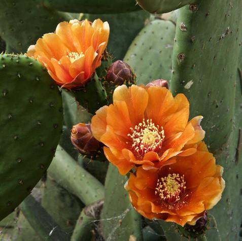 16 | Cactus-Flowers