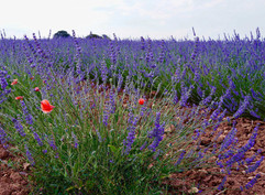 23   Lavender Field