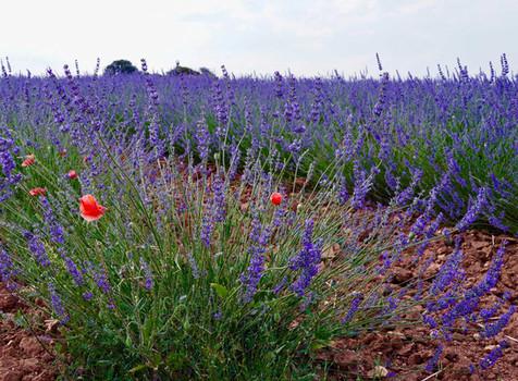 23 | Lavender Field