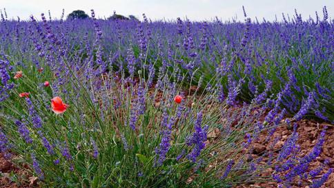 23_Lavender-Field.jpg