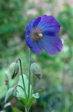 17 | Blue Wildflower