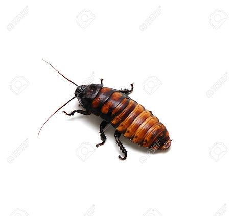 2283180-Madagascar-Hissing-Cockroach-Stock-Photo.jpg