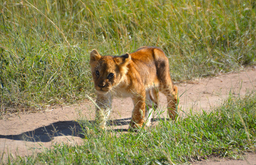 Baby Lion in Kenya