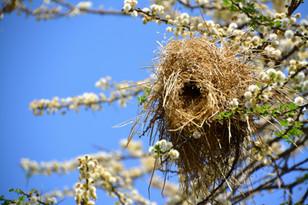 シャカイハタオリの巣(Philetairus socius's nest)