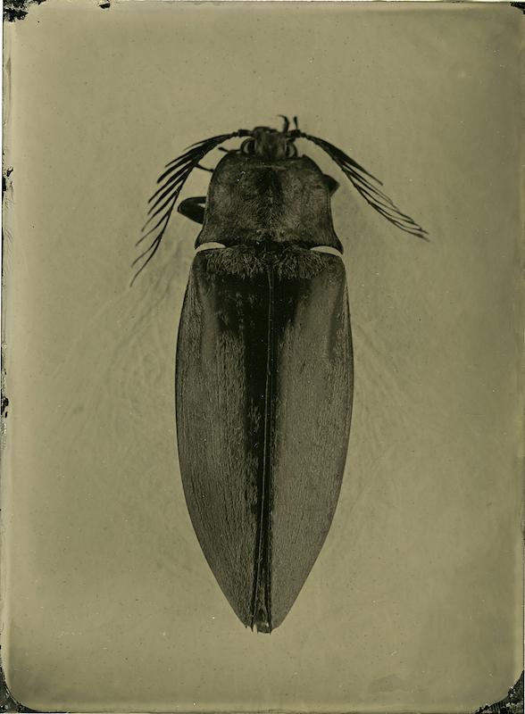 Oxynopterus - Phillipinen