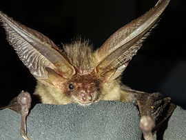Help usto help bats by donation or joining us