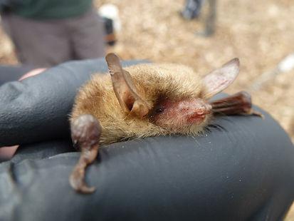 Natterers Bat
