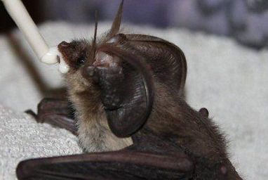 Brown Log Eared Bat having some milk