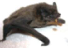 Leisler eating a mealworm.jpg