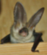 Brown Long Eared soon to be released bac