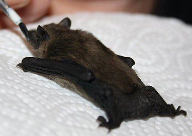Leisler Bat having milk