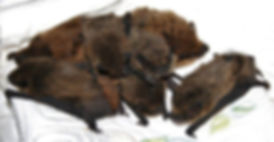A group of young pipistrelles that came out of the roost and into the house in bad weather