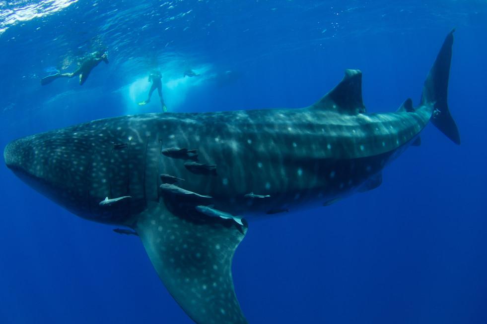 Whale Shark at St Helena