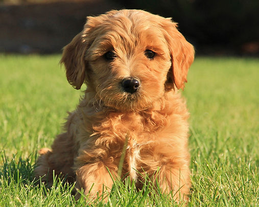 Foothills labradoodles puppies in Seattle Washington