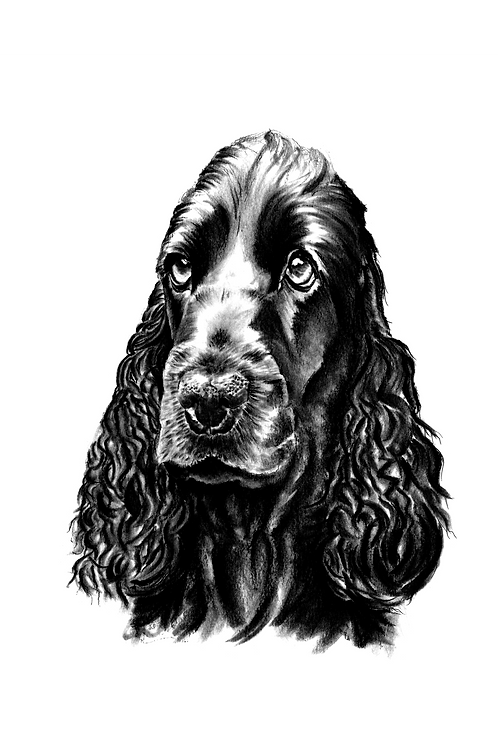 Cocker Spaniel - Original