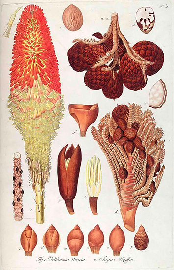 THE RED HOT POKER - ANTIQUE FRUIT PRINT