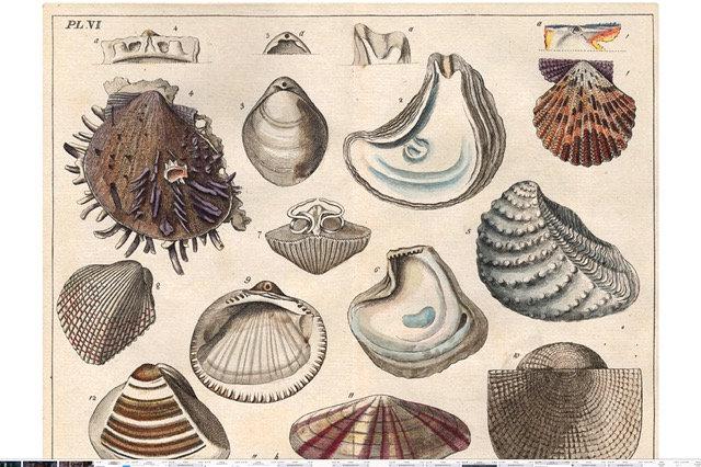 Antique Shell chart 4