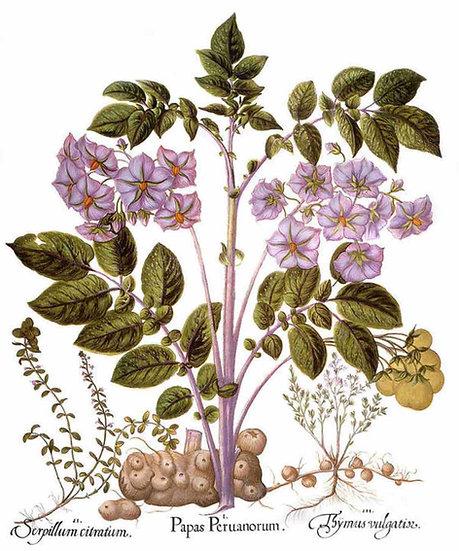 Botany, Potato Plant