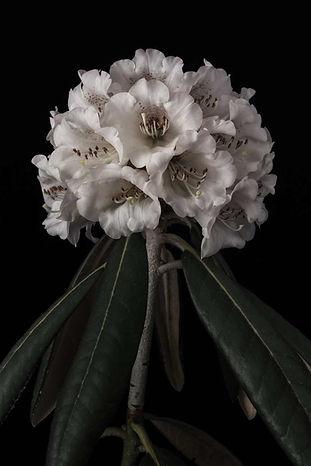 2018.04.26_Rhododendron-54099-Bearbeitet