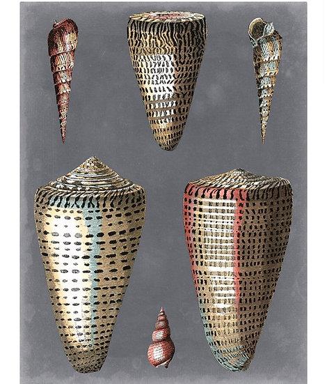 Midnight shells 1 Pierre Redoute