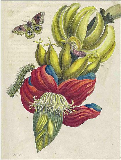 BANANA BLOSSOM - ANTIQUE FRUIT PRINT
