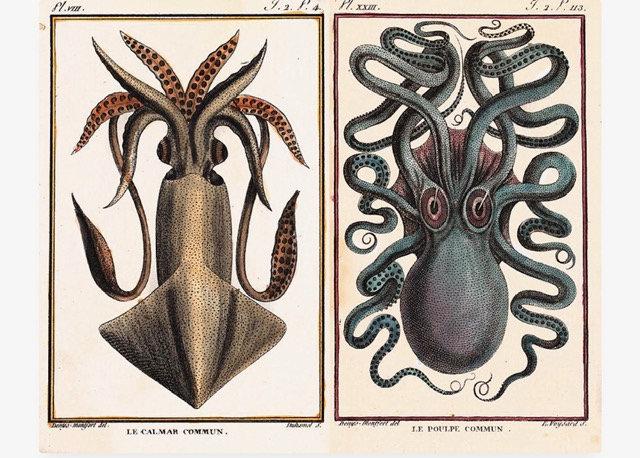 1801 octopus and Squid Pierre Denys de Montfort