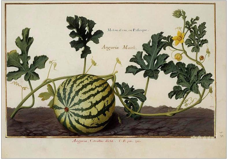 WATERMELON VINE - ANTIQUE FRUIT PRINT