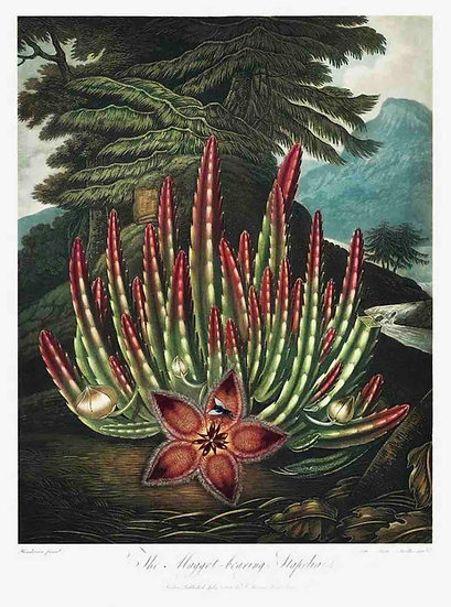 THE INSECT EATING STAPELIA
